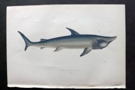 Couch 1877 Antique Fish Print. Broad-Headed Gazer Shark 249